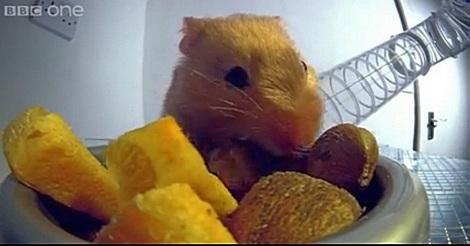 Hamster stopft sich die Taschen voll