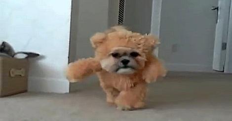Hund im Teddybär Kostüm