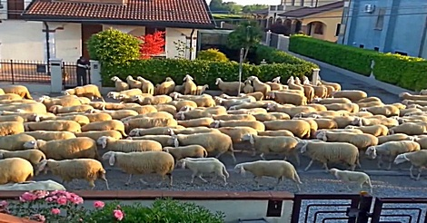 Schafe machen Rast an Nachbars Hecke