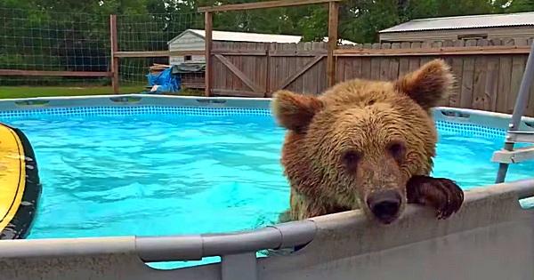 Grizzlybär geht baden