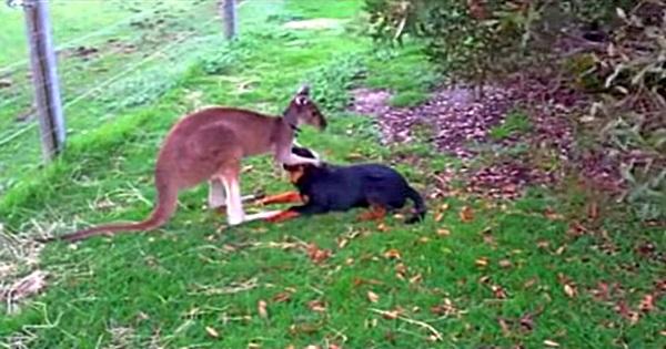 Känguru liebt Hund