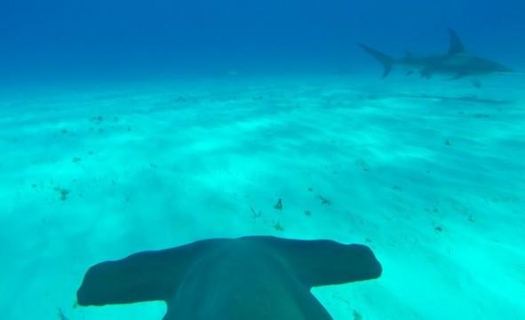Hammerhai mit GoPro auf dem Rücken