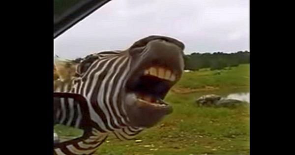 singende Zebra