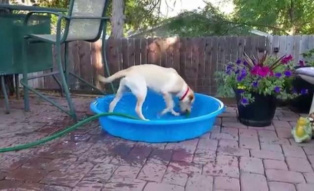 Hund füllt Pool selbst mit Wasser