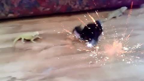 Jedi-Bartagame schießt auf Katze