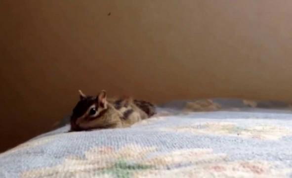 Streifenhörnchen streckt sich