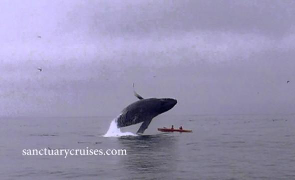 Wal springt auf Kayak