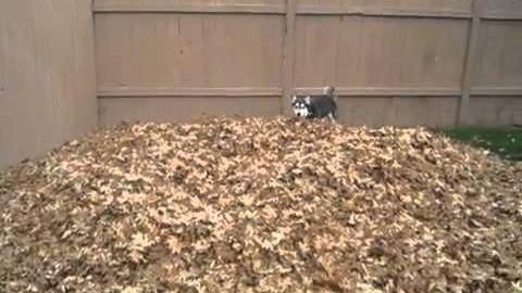 Husky spielt im Laubhaufen
