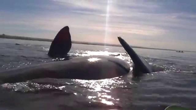 Wal hebt Kayak in die Luft