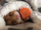Hamster macht Frühstück im Bett