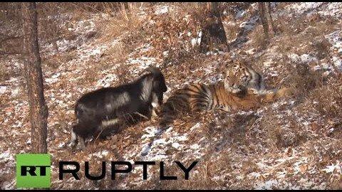 Tiger und Ziege – beste Freunde!