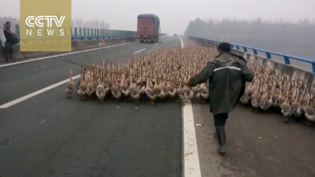 über 1300 Gänse auf der Autobahn