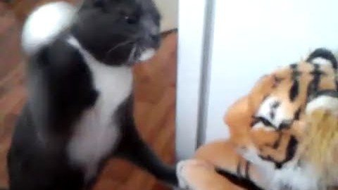 Katze schlägt den Tiger!