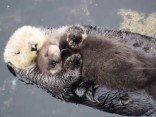 Otter Baby schläft auf seiner Mama
