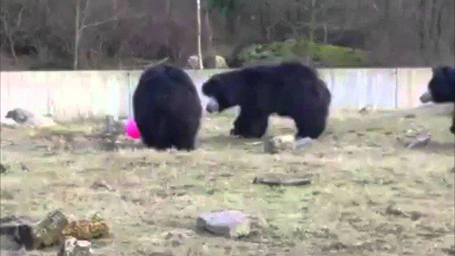 3 Bären spielen mit rosa Luftballon