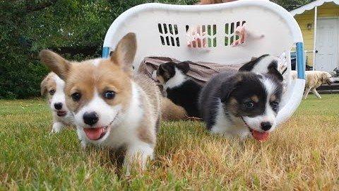 Total süße Hundewelpen im Wäschekorb