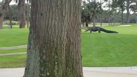 Monster Krokodil auf dem Golfplatz