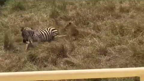 Zebra des Jahres!
